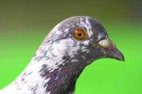 Feral pigeon pupil